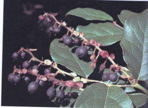Salal Berry Vinegar